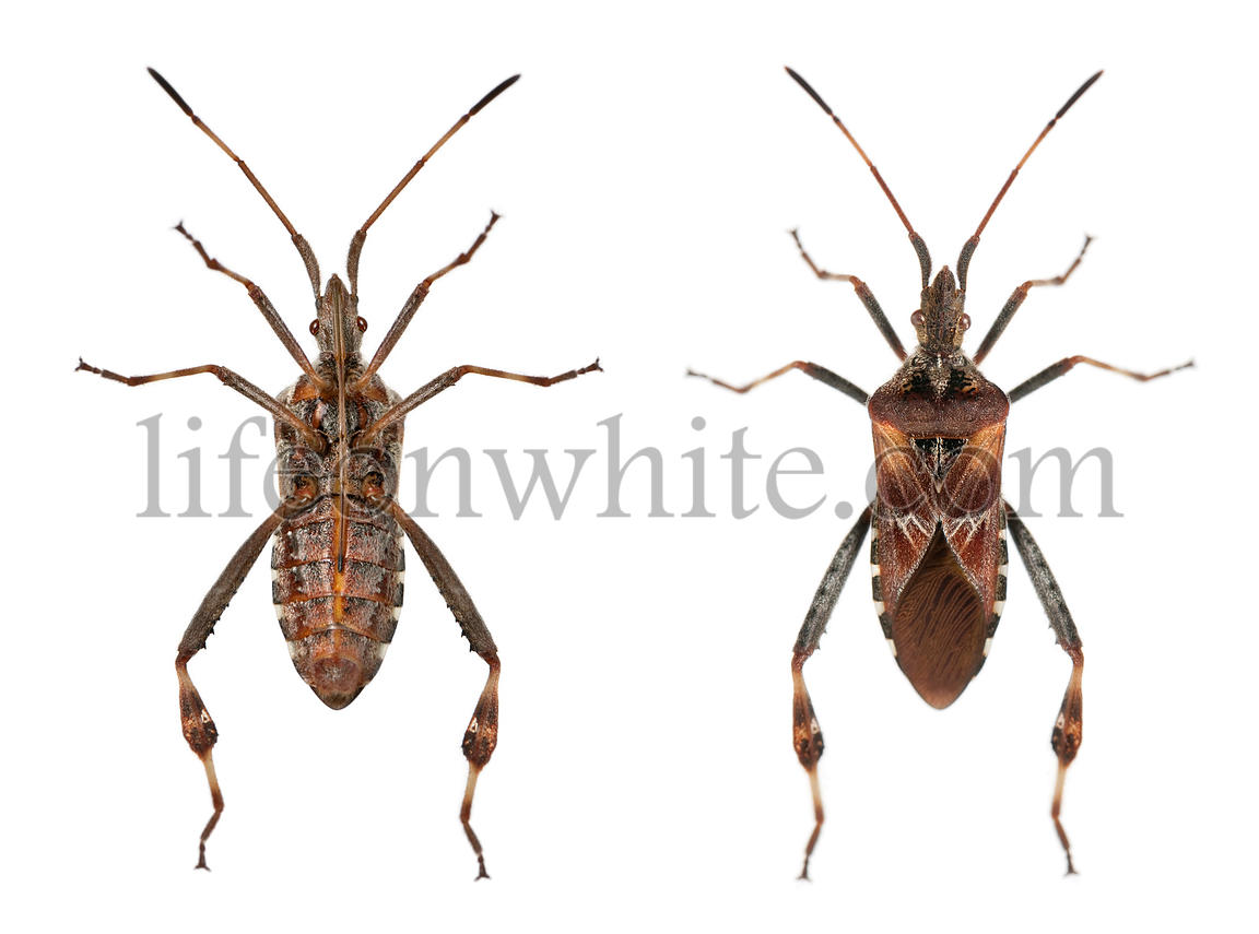Western conifer seed bugs, Leptoglossus occidentalis, in front of white background
