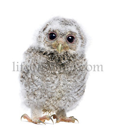 front view of a owlet looking at the camera - Athene noctua (4 weeks old)