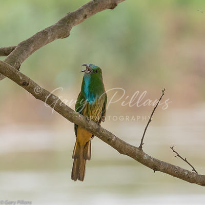 Blue Bearded Bee-Eater