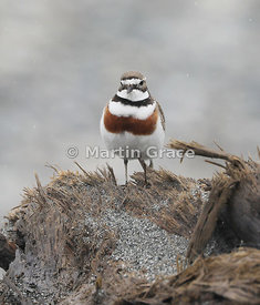 Male Banded Dotterel (Charadrius bicinctus bicinctus), Okarito, West Coast, South Island, New Zealand