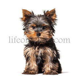 Sitting Puppy Yorkshire Terrier dog, isolated on white