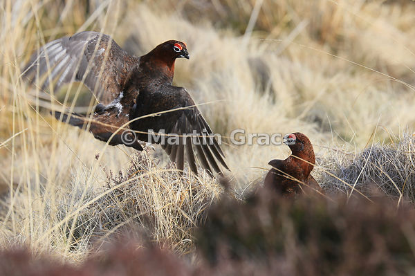Two male Red Grouse (Lagopus lagopus scotica) fighting over territory, March 19, Lochindorb, Scottish Highlands. Image: Dorot...