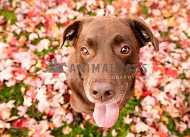 A happy chocolate lab with red fall leaves