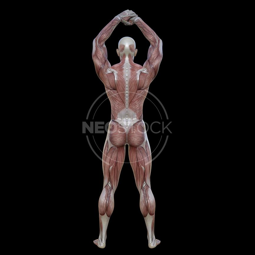 cg-body-pack-male-muscle-map-neostock-27