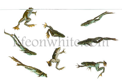 Composition of Edible Frogs swimming under water line, Pelophylax kl. esculentus, isolated on white