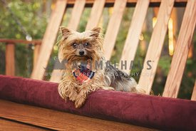 Yorkshire terrier lounging on wood swing