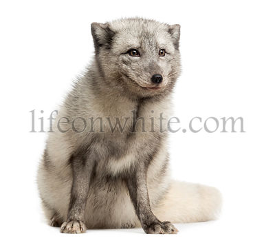 Arctic fox sitting, looking away, Vulpes lagopus, isolated on white
