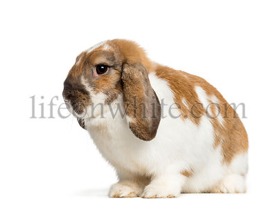 Holland Lop in front of white background