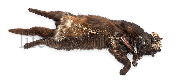 Roadkill cat in state of decomposition, isolated on white