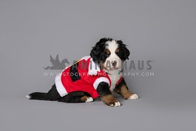 bernese mountain dog puppy in santa suit on grey background