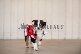 australian shepherd puppy wearing santa shirt walking towards camera