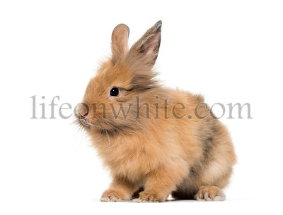 Young Lionhead rabbit, four months old sitting against white background