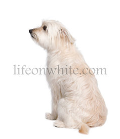 Pyrenean Shepherd, sitting in front of white background