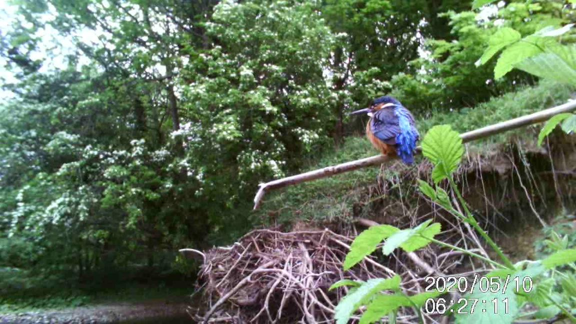 Click play to watch this little clip of a male kingfisher on a favourite perch...
