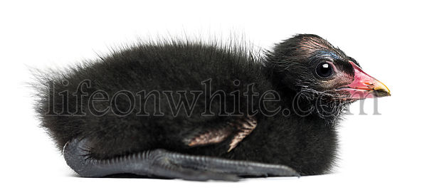 Side view of a Common Moorhen lying, 4 days old against white background
