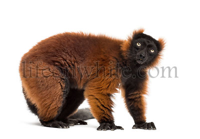 red ruffed lemur standing, isolated on white
