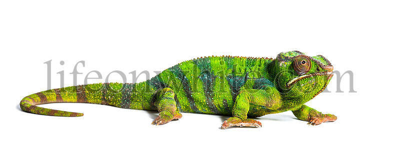Panther chameleon, Furcifer pardalis, a species of chameleon, in front of white background
