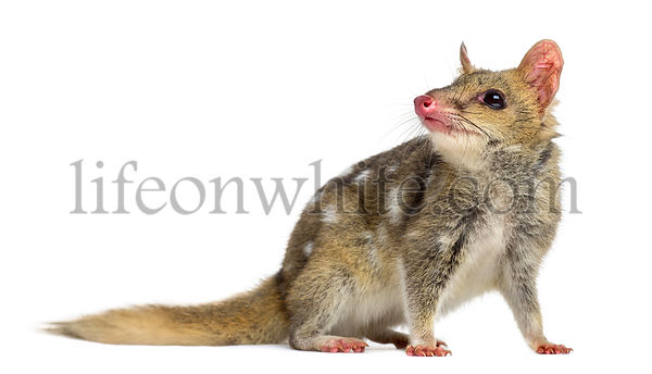 Quoll looking away, isolated on white
