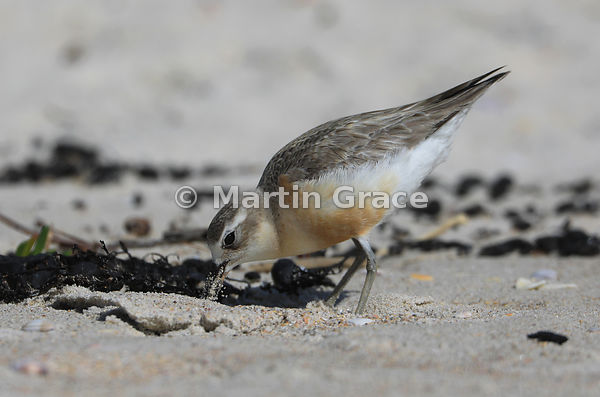 North Island subspecies of New Zealand Dotterel (Charadrius obscurus aquilonius), Otama Beach, Coromandel Peninsula,  Aucklan...