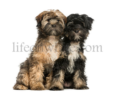 Two Tibetan Terrier, 4 months old, sitting and facing, isolated on white