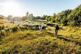 Hiker and cows on Mors, Denmark 3