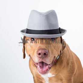 Tan canine mutt with gray fedora hat looks at the camera isolated on white background in the studio for a funny headshot