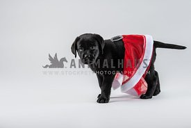 small black lab puppy in santa skirt