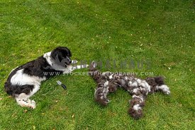 A newfoundland dog after being brushed