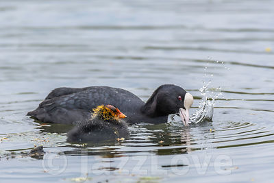 Coot with offspring.