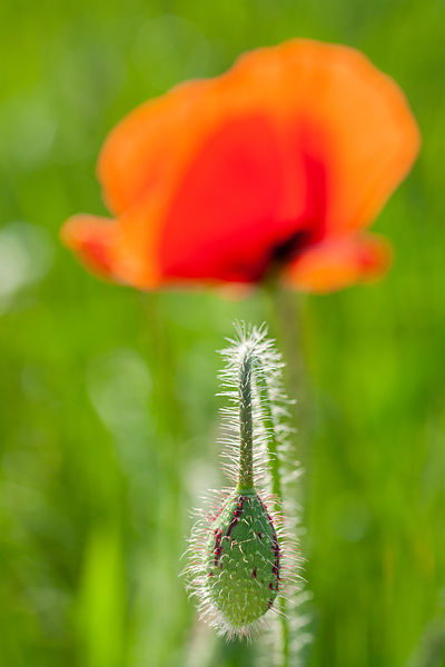 Coquelicot / Red poppy