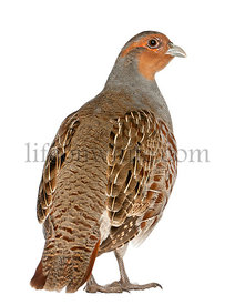 Portrait of Grey Partridge, Perdix perdix, also known as the English Partridge, Hungarian Partridge, or Hun, a game bird in t...
