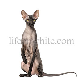 Peterbald, naked cat, sitting and looking at the camera