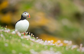 Puffin amongst pink Sea Thrift