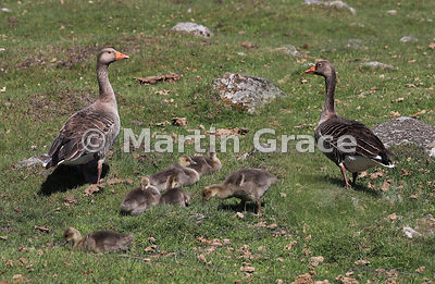 Pair of Greylag Geese (Anser anser) with six goslings, Badenoch & Strathspey, Scottish Highlands