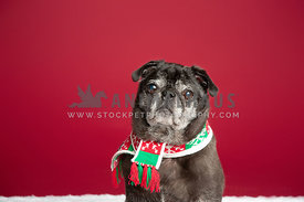 Christmas Pug wearing a scarf
