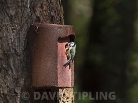 Blue Tit taking in nest material to woodcrete nest box, North Norfolk, spring