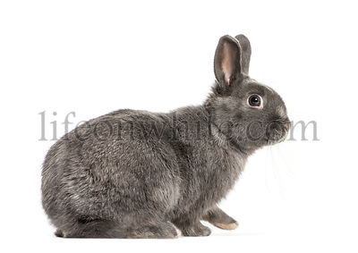 Pygmy rabbit in front of white background