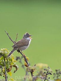 Common Whitethroat Sylvia communis in song in spring North Norfolk