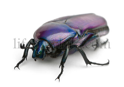 Beetle, Chlorocala Africana Oertzeni, in front of white background