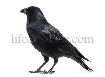 Rear view of a Carrion Crow, Corvus corone, isolated on white