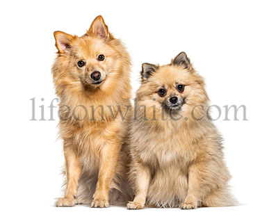 Two Keeshond dogs sitting together, isolated on white