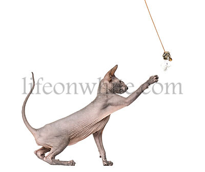 Side view of a peterbald, naked cat, playing with a toy