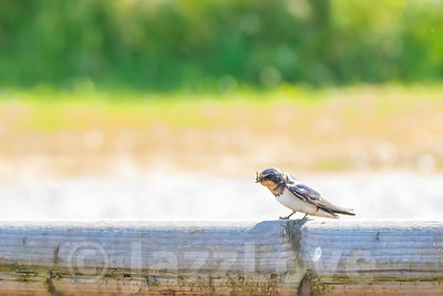 Barn swallow sitting on piece of wood and catching an insect.
