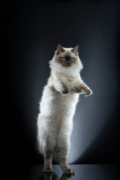 STANDING CATS - COTON (1)