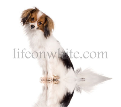 Papillon dog, 2 years old, sitting in front of white background