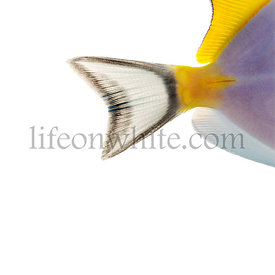 Close-up of a Powder blue tang\'s caudal fin, Acanthurus leucosternon, isolated on white