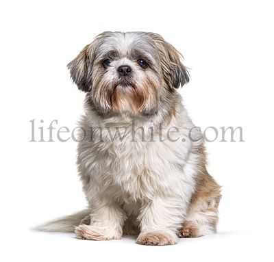 Shih Tzu looking at the camera, sitting on white