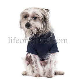Chinese Crested Dog , 5 years old, in blue t-shirt looking at camera against white background