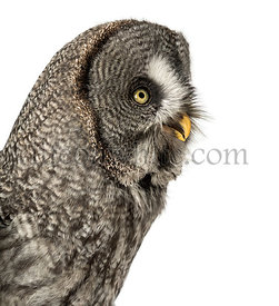 Close-up of a Great Gray Owl\'s profile, Strix nebulosa, isolated on white