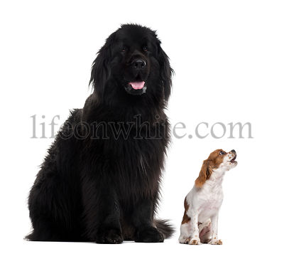 Newfoundland and Cavalier King Charles, isolated on white